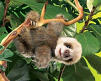 Sloth, Baby (12)